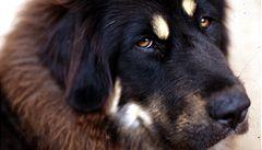 Bohatí Číňané mají nový symbol luxusu - tibetského mastifa